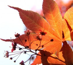 Maple Backlit